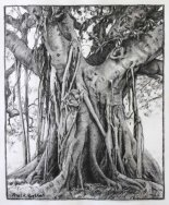 Moreton Bay Fig Tree Drawing